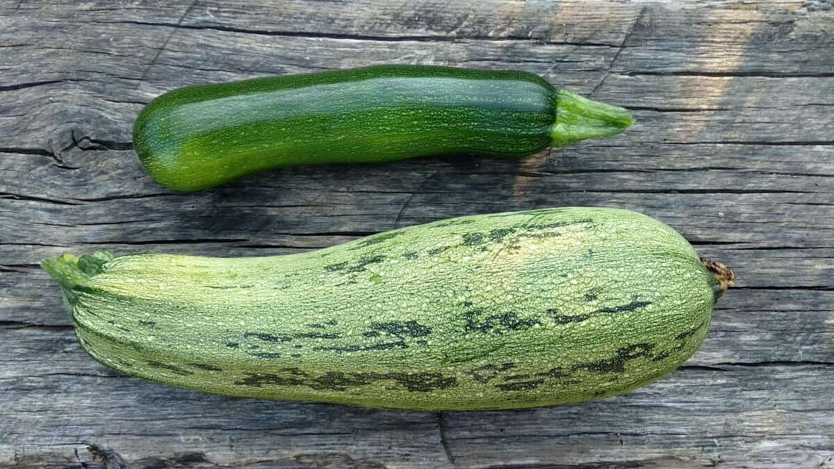 overgrown courgette or zucchini vs normal regular zucchini